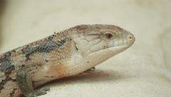 4k Lizard close up shot with red camera. Stock Footage