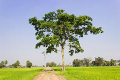 A big trees in the field Stock Photos