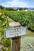 Sign for cabernet sauvignon grapes in vineyard Stock Photos