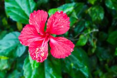 red hibiscus flower on tree - stock photo