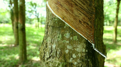 Rubber Tree with tapped markings Stock Footage