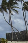 Wind distorted coconut trees - stock photo