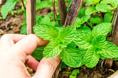 fresh mint leaves on a garden - stock photo