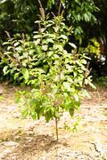 ocimum sanctum tree - stock photo