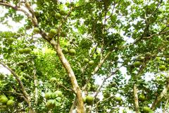 green pomelo fruit on tree - stock photo