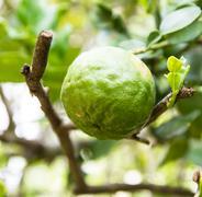 Kaffir lime or bergamot fruit on tree Stock Photos