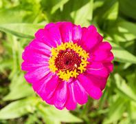 Stock Photo of zinnia pink flower on garden