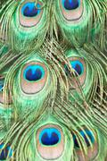 beautiful exotic peacock feathers - stock photo