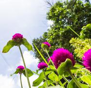 pink globe amaranth or bachelor button flower and blue sky. - stock photo