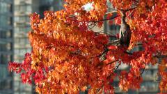 Heron in Autumn Tree, Vancouver Stock Footage