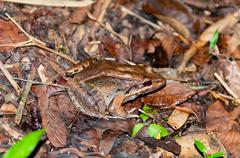 frog in the rain forest floor - stock photo