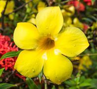 Allamanda or golden trumpet close up of  beautiful yellow flower Stock Photos