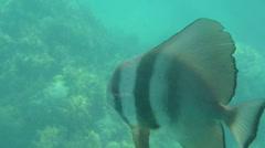 Batfish in the Indian Ocean Stock Footage