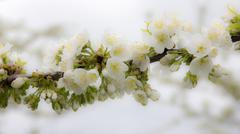 apple treee flowers blooming - high key - stock photo