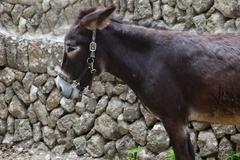 young donkey in a harness - stock photo