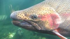 Rainbow Trout Close Up - stock footage
