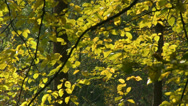Stock Video Footage of Shivering golden autumn leaves