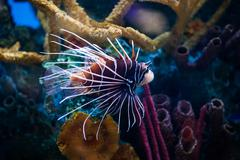 Beautiful lionfish (pterois) swimming alone in an aquarium Stock Photos