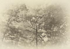 three tall trees - stock photo
