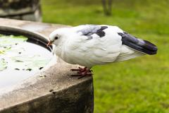 a pigeon resting on the wall in garden - stock photo