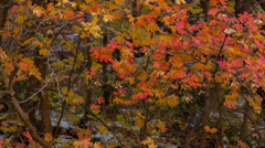 Multi-colored fall leaves with snow on the ground Stock Footage