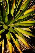 Stock Photo of agave palona with needle sharp leaves,