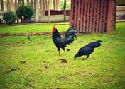 Stock Photo of black chickens.