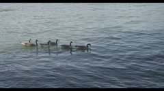 Ducks Swimming Stock Footage