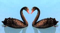 two swan in lake - stock photo