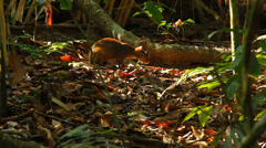 Agouti Costa Rica Stock Footage