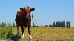 Cow grazing in the meadow - stock footage
