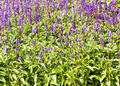 Stock Photo of blue salvia plant