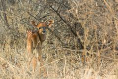 new born nyala - tragelaphus angasii - stock photo