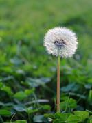 white dandelion - stock photo