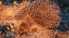 Hedgehog Stock Footage