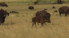 Herd of American Bison with Baby walking Stock Footage