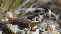 Close up of a short-horned grasshopper breathing Stock Footage