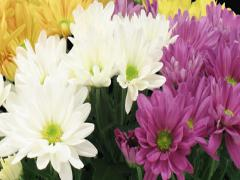 Time-lapse of opening multicolor chrysanthemum flower buds 2x3 (DCI-2K) - stock footage