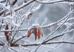 leafs and rime frost. piedmont, northern italy. - stock photo