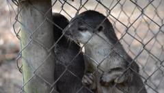 Squealing Otters Stock Footage