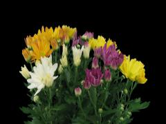 Time-lapse of opening multicolor chrysanthemum flower buds 3x3 (DCI-2K) Stock Footage