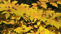 Foliage, golden autumn leaves, fall season, landscape, background Stock Footage
