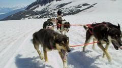 Alaskan Husky dogs used for dog sled adventures, USA - stock footage