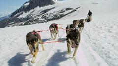 Alaskan Malamute dogs used for high endurance, USA - stock footage
