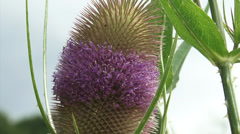 Common Teasel in bloom + zoom out, farmhouse in background Stock Footage