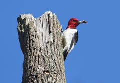 Red-headed woodpecker (melanerpes erythrocephalus) Stock Photos
