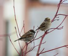 pair of sparrows sitting on a red twig - stock photo