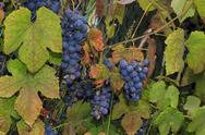 Stock Photo of growing wine grapes hanging from the stem, surrounded by colourful, beautiful