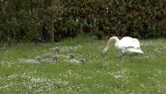 Stock Video Footage of Swan with Cygnets Eating Grass 7