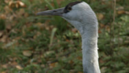 Stock Video Footage of Hooded Crane